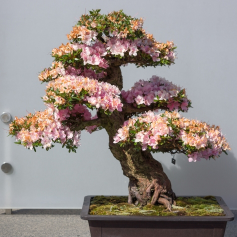Pink Bonsai Flowers