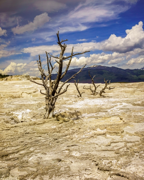 In Angel Terrace of Mammoth Hot Springs in Yellowstone National Park, you see these wide spaces that have consumed trees with the minerals of hotsprings that have flowed intermitently over the last several decades.