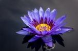 I just love blue water lilies because they contrast with their yellow insides so well!