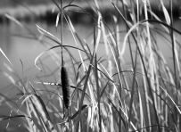 A cat tail waiting to release its' seeds against the wind in the Half Day forest preserve in Vernon Hills, IL.